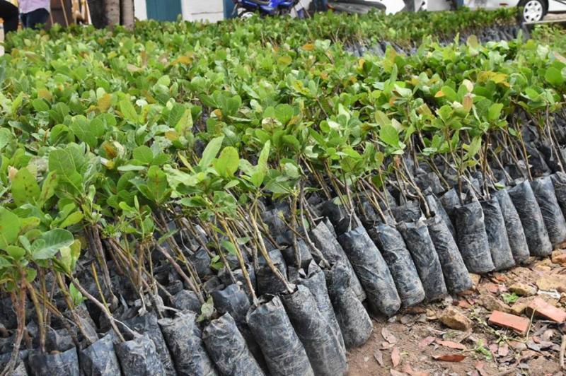 Em Picos famílias de agricultores receberão 10 mil mudas de caju