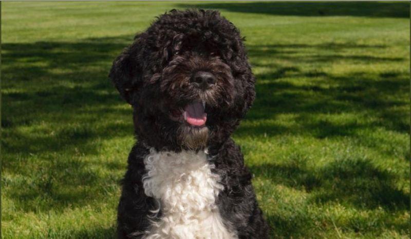 O cão Bo foi adotado logo no início do governo de Barack Obama, em 2009 - (Foto: Reprodução / Twitter)